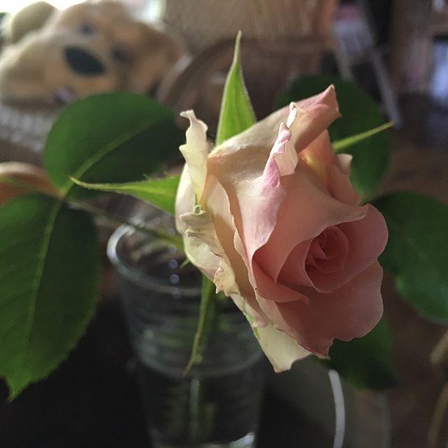 この時期にご近所から必ず届く薔薇便り♪薄いオレンジがかったアプリコット・ネクター??香りは無いなー #薔薇 #アプリコット・ネクター #snapmart