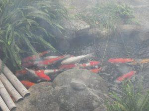 雨の日の鯉