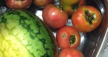 採れたて新鮮トマト