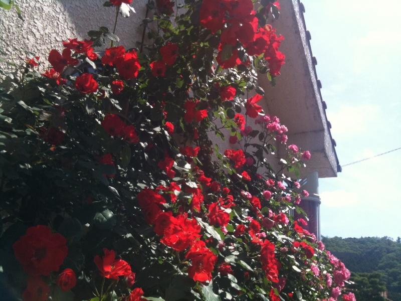 満開のツル薔薇