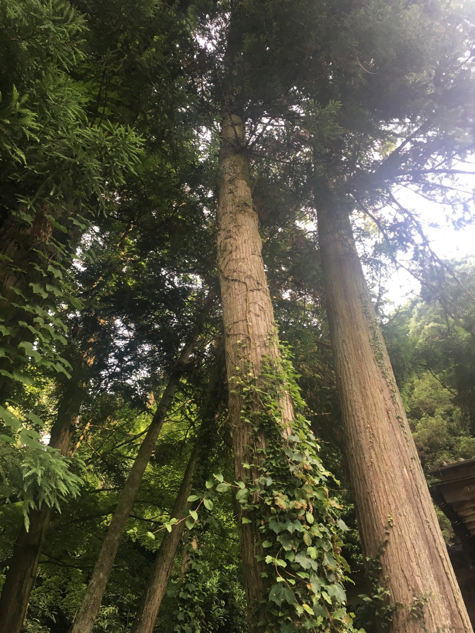 神社の大杉