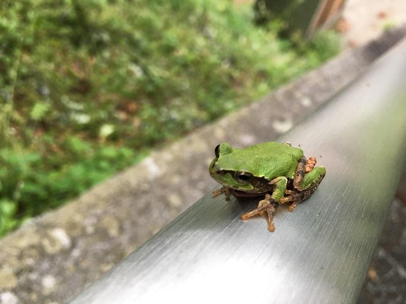 神社の手すりにカエル