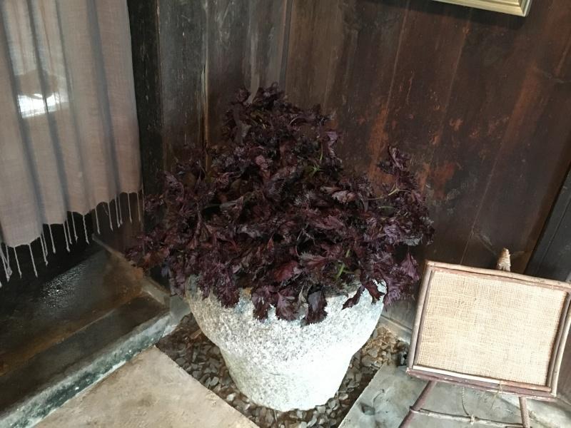 まだまだ紫蘇がいっぱい!