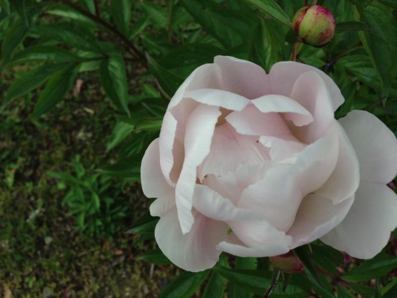 桜色の芍薬