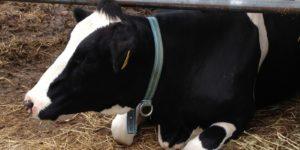 山口農業大学校のお休み中の牛