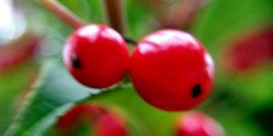 クロガネモチの赤い実