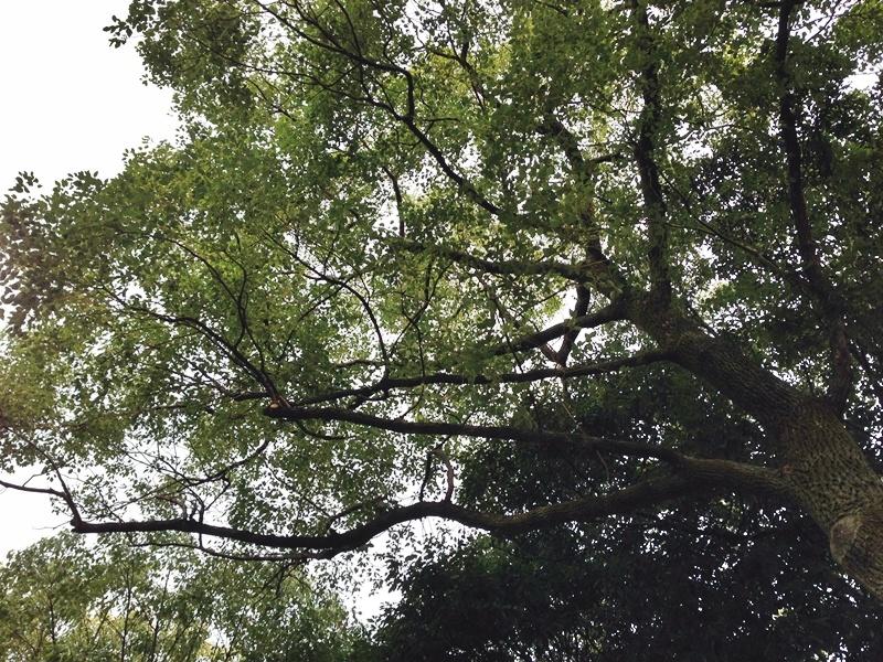 おおきなどんぐりの木