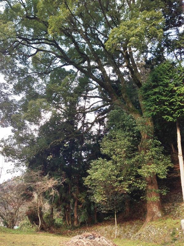 大きな守り木