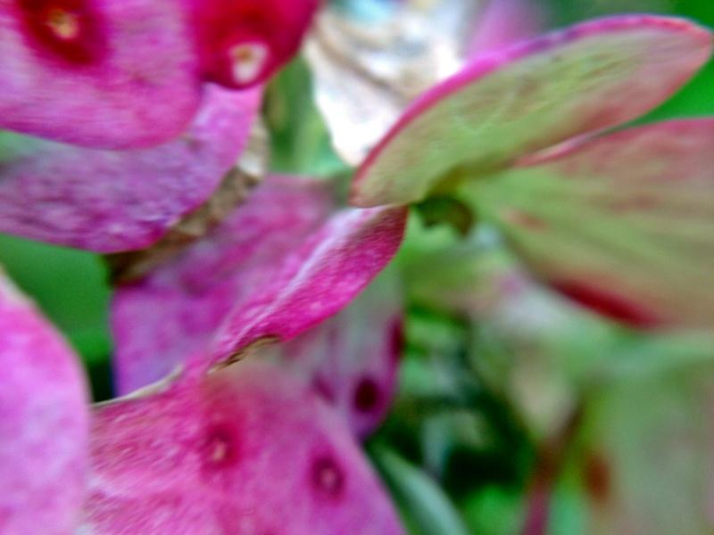秋色に色づいた紫陽花の花
