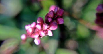 刻々と色を増す犬蓼の花