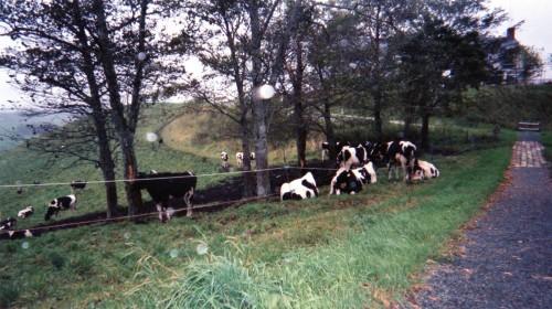 牛がいっぱい。