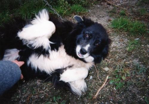 牧場の番犬、ボーダーコリー